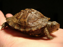 Box Turtle Babies