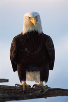 To Be an Eagle